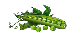 Pea green peas in a pod. Fresh ripe peas. Vector. Royalty Free Stock Photo