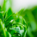 Pea green young tendril plants shoots in growing container Stock Images