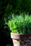 Pea green young tendril plants shoots microgreens in plant pot Stock Image