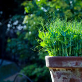 Pea green young tendril plants shoots microgreens in plant pot Stock Photography