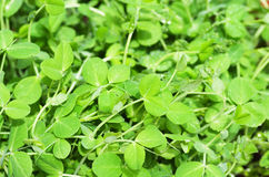 Pea greens. Close up image of pea greens with water drops Royalty Free Stock Image