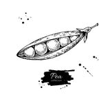 Pea hand drawn vector illustration. Isolated Vegetable engraved Royalty Free Stock Photo