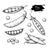 Pea hand drawn vector illustration set. Isolated Vegetable engraved style object. Detailed vegetarian food drawing. Stock Photography