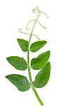 Pea leaf with tendril isolated on white Stock Photo