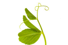 Pea leaf with tendril on white Royalty Free Stock Photography