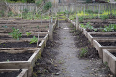 Pea Patch raised beds Royalty Free Stock Photo
