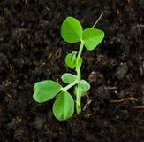Pea Plant Stock Photography