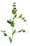 Pea plant Stock Photography