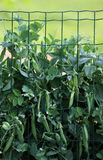 Pea plant. In the vegetable garden for commercial production stock photo