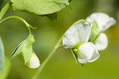 Pea plant blooming Stock Image