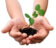 Pea plant in hands Royalty Free Stock Images