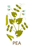 Pea plant with leaves and pods. Vector illustration Royalty Free Stock Image