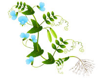 A pea plant on a white background. A pea plant on a white background, beautiful illustration Royalty Free Stock Image