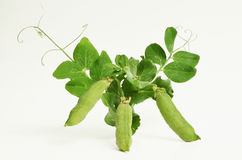 Pea plant on white Royalty Free Stock Photo