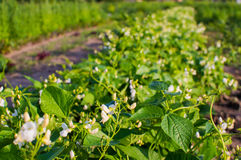 Pea plant with white blooms. Stock Photo