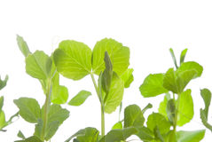 Pea plants Royalty Free Stock Photo