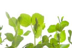 Pea plants royalty free stock photo