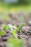 Pea plants Stock Photography