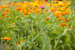 Pea plants and Calendula Royalty Free Stock Images