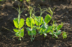 Pea plants Royalty Free Stock Image