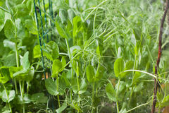 Pea plants Stock Photography