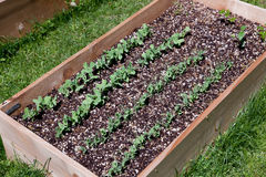 Pea Plants in Raised Bed Royalty Free Stock Photo