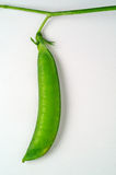 Pea pod. Attached to branch Stock Images