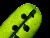 Pea pod. On black background Stock Images