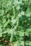 Pea pod. Growth of pods of peas Royalty Free Stock Photography