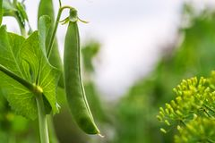 Pea pod on a branch Stock Image