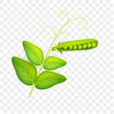 Pea pod with leaves isolate on white background. Vegetable 3d vector. Vector illustration.  Stock Image