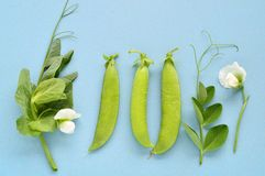 Pea pod, tendril and flower on blue background. Royalty Free Stock Images