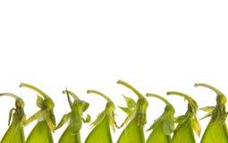 Pea Pod Tops. Isolated closeup of green pea pod tops Royalty Free Stock Photography