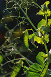 Pea pods close up. Royalty Free Stock Photos