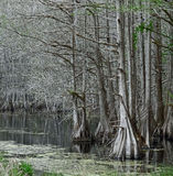Pea River Swamp, Alabama Royalty Free Stock Images