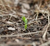 Pea seedling new growth Royalty Free Stock Images