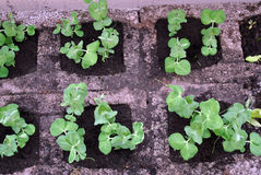 Pea Seedlings Royalty Free Stock Photography