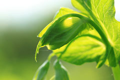 Pea shoot. Sunlighted pea shoot - summer vegetable Royalty Free Stock Photo