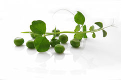 Pea sprout Stock Photos