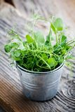 Pea sprout. Fresh pea sprouts in little bucket, selective focus Royalty Free Stock Photography