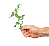 Pea sprout in male hand isolated Royalty Free Stock Image