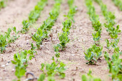 Pea sprout in the spring Royalty Free Stock Photo