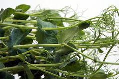 Pea sprouts Stock Photography