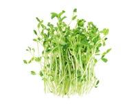 Pea Sprouts Images libres de droits