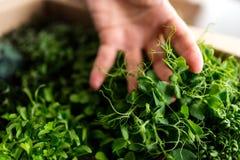 Pea Sprouts Stock Fotografie