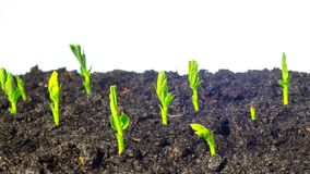 Pea sprouts grow, time-lapse. Pea sprouts grow, white background time lapse stock video footage