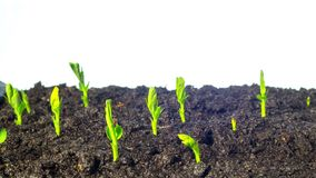 Pea sprouts grow, time-lapse. Pea sprouts grow, white background time lapse stock footage