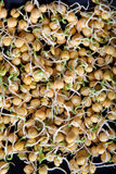 Pea sprouts. For vegetarian food Royalty Free Stock Photography