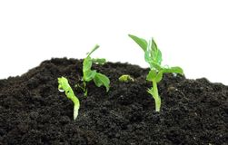 Pea sprouts. Young pea plants sprouting in fertile soil stock photography