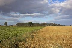 Pea and sugar beet crops Royalty Free Stock Photography